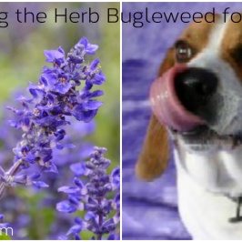 Bugleweed for Dogs and How to Safely Use It