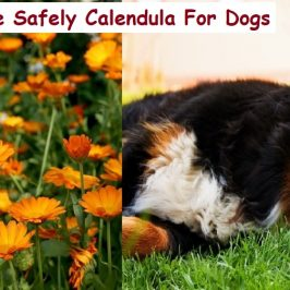calendula usages for dogs