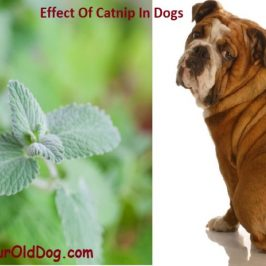 The Effect of Catnip in Dogs