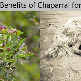 Uses of Natural Herb Chaparral for Dogs