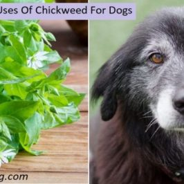 Chickweed benefits for dogs