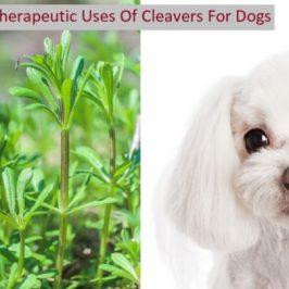 Cleavers Tea Herb Health Benefits For Dogs