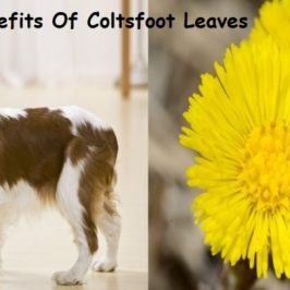 Health Benefits of Coltsfoot Leaf