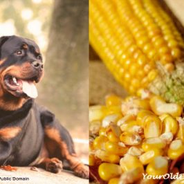 How To Use Corn Silk for Dogs with Incontinence Issues