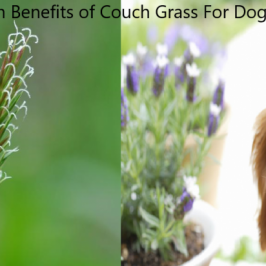 couch grass for dogs