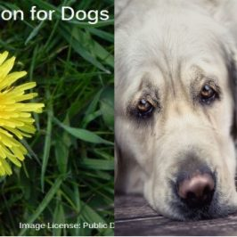 dandelion-for-dogs