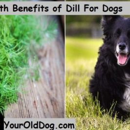Health Benefits of Dill Weed for Dogs