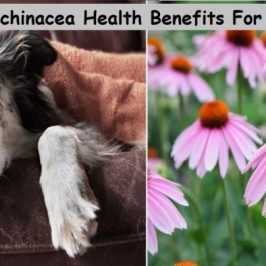 Echinacea Health Benefits For Dogs