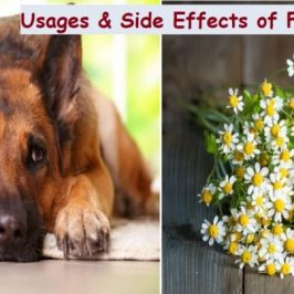 Usage and Side Effects of Feverfew for Dogs