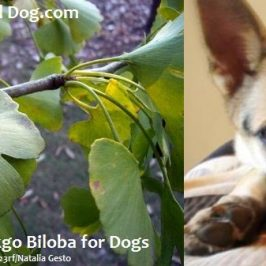 safely using gingko biloba for dogs