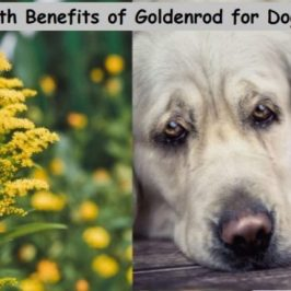 Health Benefits of Goldenrod for Dogs