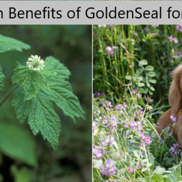 goldenseal_health_benefits
