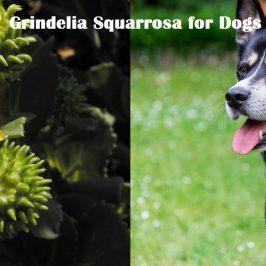 Grindelia Squarrosa for Dogs