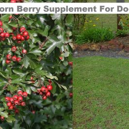 Hawthorn Berry For Dogs
