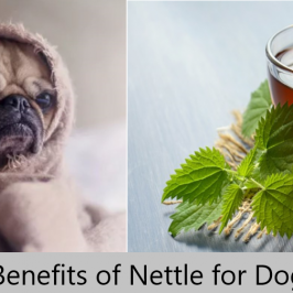 Health Benefits of Stinging Nettles for Dogs