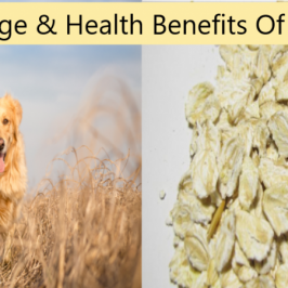 Oats for Dogs : Health Benefits and Therapeutic Uses