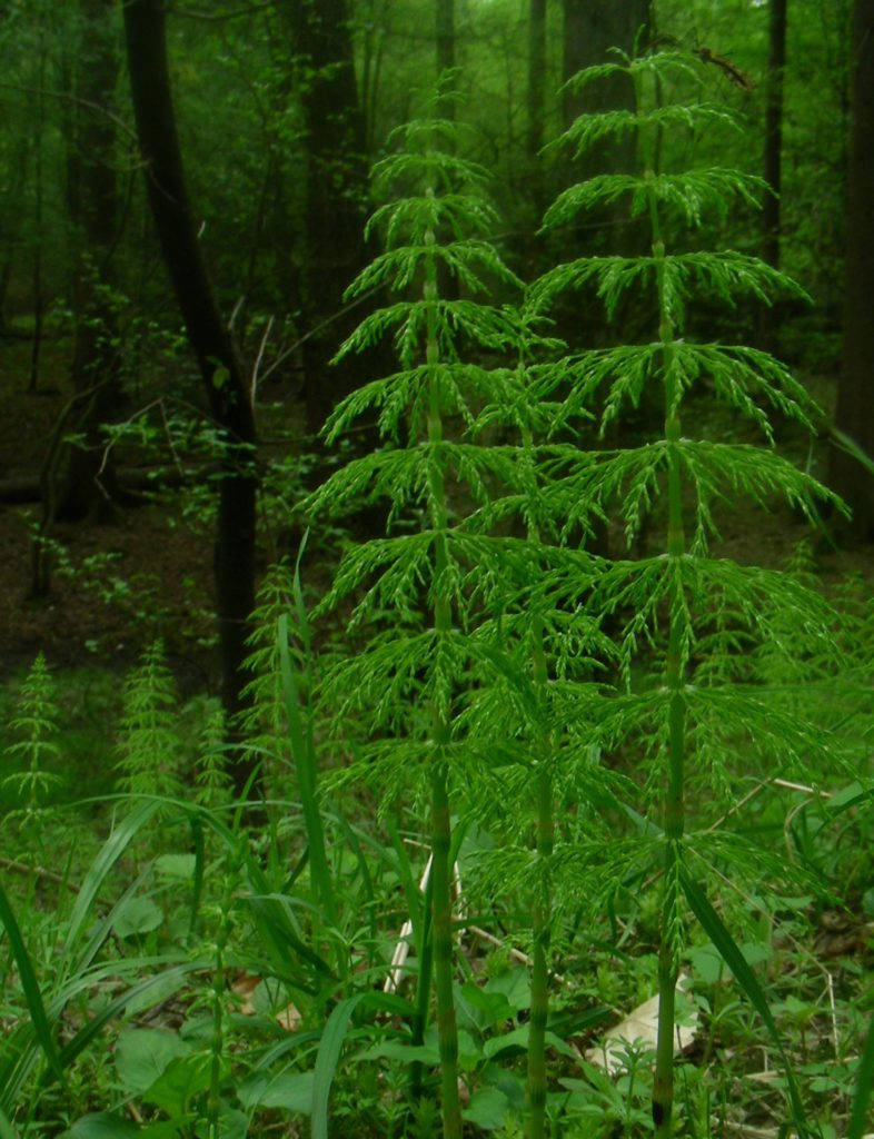 Horsetail Herb for Dogs