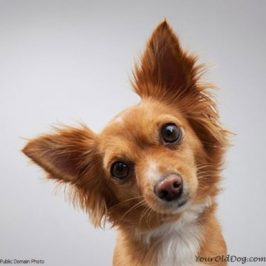 How To Clear Up A Dog Dog Ear Infection Permanently