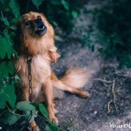 Idiopathic Vestibular Disease In Dogs