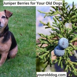 Juniper Berries Herbal Supplements for Your Old Dogs