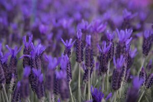 safely using lavender for pets