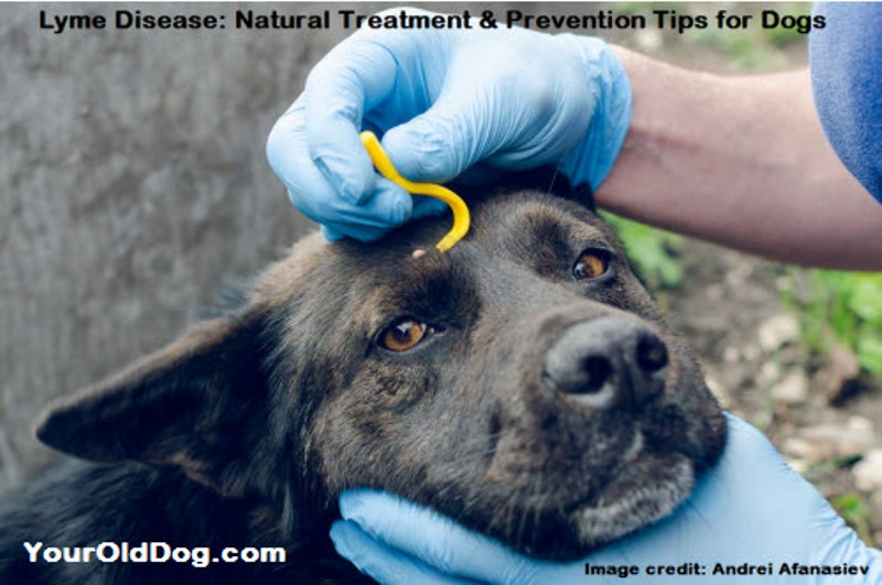 treating lyme disease naturally in dogs