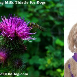 safely using milk thistle for dogs