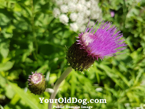 article on milk thistle for dogs