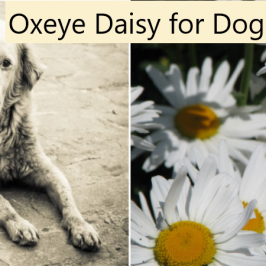 Oxeye Daisy for Dogs