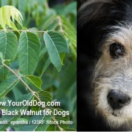 using-black-walnut-for-dogs