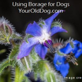 image for article about borage for dogs