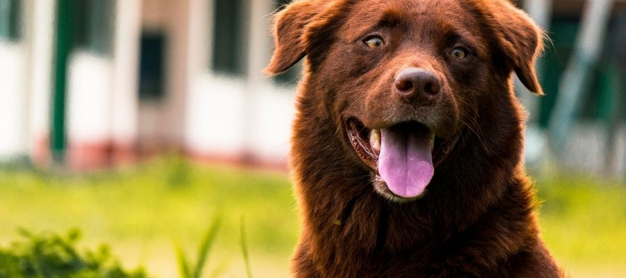 feeding dogs with liver disease